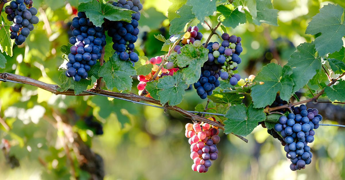 Noble Grapes: Pinot Noir